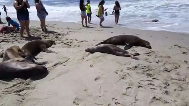 dzmedia When you don't pay attention while around wild animals. If you share please credit @dzmedia #nature #wildanimals #sealion #seals #lajolla #lol #funny